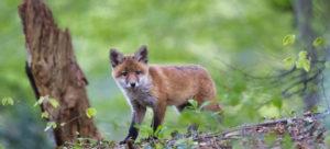 Fuchswelpe, Fuchs, Junger Fuchs, Meister Reineke, Rotfuchs, Vulpes vulpes