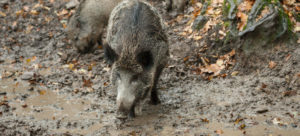 Wildschwein, Wildsau, Suhle, Nahrungssuche, Sus scrofa